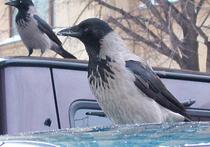 В Дмитрове питбуль спас ворону от кошки