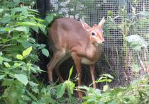 В зоопарке появились крошечные антилопы, которые видны только вечером