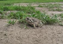 В Подмосковье переселилась жаба-чесночница, гагары и печальная пеночка